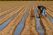 Irrigating a field of roses