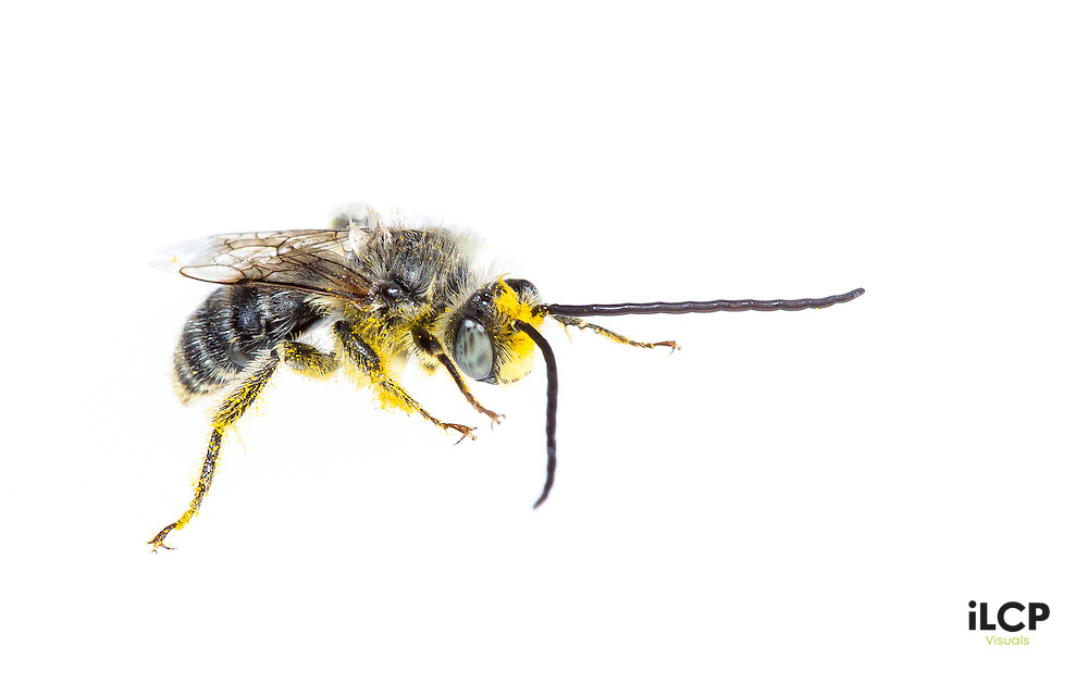 Leaf-cutter bee, (genus: megachile) photographed at Lily Lake in Rocky Mountain NP.
