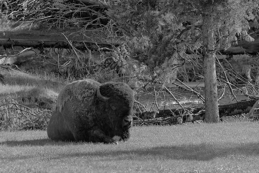 Resting Bison By Stream - Yellowstone National Park - Black & White
