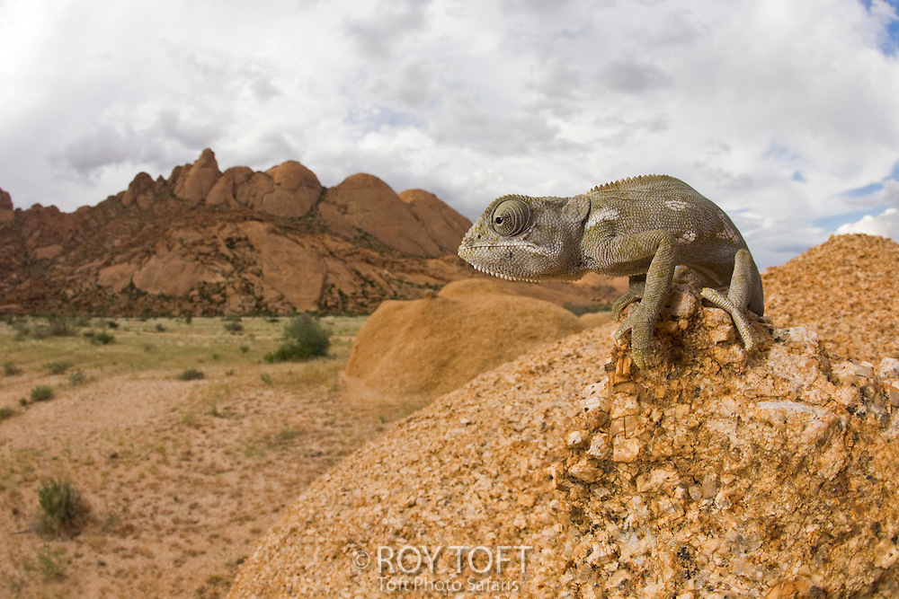 A Namaque chameleon attempts to blend in with rock formations as it moves along.