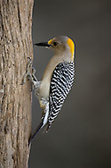 Golden-fronted Woodpecker (Melanerpes aurifrons) - male<br /> TEXAS: Hidalgo Co.<br /> Las Colmenas Ranch<br /> 14-March-2006<br /> J.C. Abbott #2248