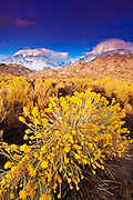 Rabbitbrush under the Sierra crest from Buttermilk Country, Inyo National Forest, California