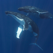 A pair of humpback whales (Megaptera novaeangliae) engaged in courtship, with the male hovering above the female. As is often the case with courting humpbacks, this pair exhibited a high degree of curiosity and friendliness.