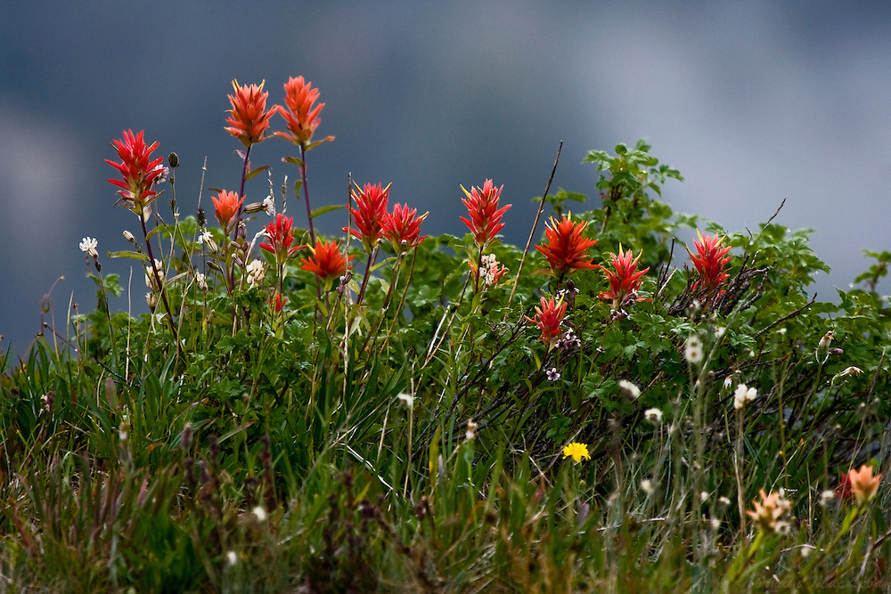 This group of Indian paintbrush and other wildflowers blooms in mid-August along the Obstruction Point Road in the Olympic National Park