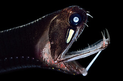[captive] Loosejaw fish (Malacosteus niger) with a light organ beneath its eye. The are also called black dragonfish (Malacosteus niger) and are a deep sea fish mainly preys on copepods. This species is among the small group of deep sea fishes that are able to emit red light and also to see it. This has only lately been revealed by scientists. The black dragonfish shines on its prey to see it without the prey even noticing that it is floodlighted – and without ringing the dinner bell for other predator species. [size of single organism: 6 cm]. Atlantic Ocean, close to Cape Verde   Schwarzer Drachenfisch (Malacosteus niger)