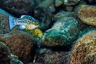 Comanche Springs Pupfish<br /> <br /> Jennifer Idol/Engbretson Underwater Photography