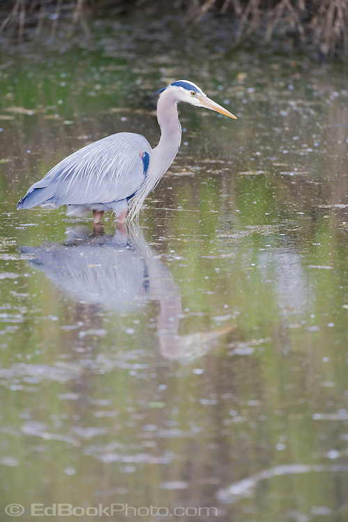 Great blue heron edbookphoto for Outdoor swimming pool near slough