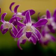 Purple orchids, Butterly Farm, Aruba