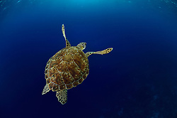 Green sea turtle (Chelonia mydas)   Grüne Meeresschildkröte (Chelonia mydas) im Freiwasser auf ihrem Weg zum nächsten Atemzug. Etwa alle 45 Minuten müssen Meeresschildkröten wieder an die Oberfläche, um dort vor dem erneuten Abtauchen mehrere Atemzüge zu nehmen.