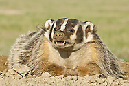 American badger, Taxidea taxus, grassland, North Dakota, USA