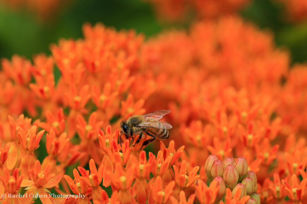 &quot;Drink it Up&quot; <br /> <br /> A bee on top of gorgeous and vibrant orange butterfly weed in summer!