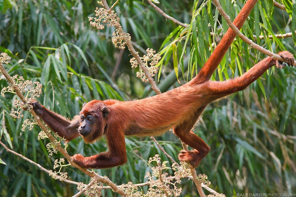 Red howler monkey feeding on leaves, Peru, Tambopata - Roter Brüllaffe bei der Nahrungsaufnahme, Peru, Tambopata