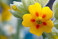 Closeup of a Cowslip flower (Primula veris) in a garden in the Fraser Valley of British Columbia, Canada