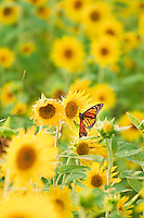 A butterfly sipping nectar from a field of sunflowers.