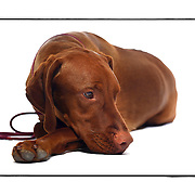 "SHOT 2/18/08 11:07:28 AM - Portraits of various dogs at the 13th Annual Rocky Mountain Cluster dog show at the National Western Complex in Denver, Co. ""Campy"", a 14 month old female Vizsla, settles in during the photo shoot relaxing on the seamless. ""Campy"" is owned by Ginger Sammonds of Loveland, Co. The Hungarian Vizsla, is a dog breed originating in Hungary. Vizslas are known as excellent hunting dogs, and also have a level personality making them well suited for families. Vizslas are lively, gentle-mannered, loyal, caring and highly affectionate. They quickly form close bonds with their owners, including children. Often they are referred to as ""velcro"" dogs because of their loyalty and affection. They are quiet dogs, only barking if necessary or provoked. They are natural hunters with an excellent ability to take training. Not only are they great pointers, but they are excellent retrievers as well. The dog show features some of the top show dogs in the country and showcases close to 200 different breeds. Some 3,500 dogs and some of the top handlers in the country compete at the event which follows on the heels of Westminster. In a conformation show, judges familiar with specific dog breeds evaluate individual dogs for how well they conform to published breed standards. Conformation shows are also referred to as dog shows or breed shows. Conformation shows are typically held under the auspices of a national kennel club. At the highest levels are Championship or all-breed shows, which have separate classes for the majority of breeds.(Photo by Marc Piscotty / © 2008)"