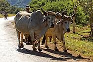 Oxen in Pinar del Rio, Cuba.