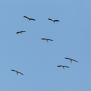 Wood Stork <br /> Mycteria americana<br /> San Blas, Nayarit, Mexico<br /> 7 June     Adults and Immatures soaring.       Ciconiidae