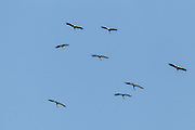 Wood Stork <br /> Mycteria americana<br /> San Blas, Nayarit, Mexico<br /> 7 June     Adults and Immatures soaring.       Ciconiidae