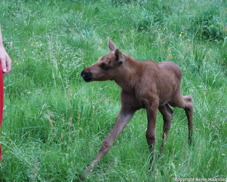 Young moose who have lost its mother. Namsskogan Familiepark.