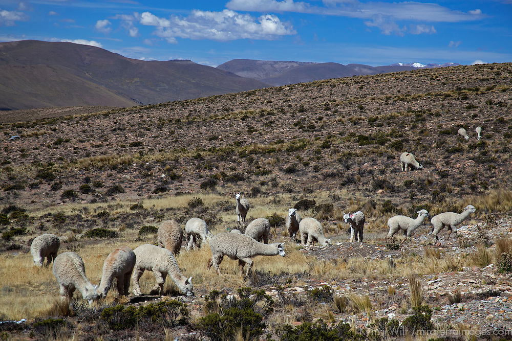 South America, Peru, Salinas and Aguaga Blanca National Reserve. Alpaca herds protected in the Pampa Cañahuas.
