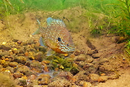 Pumpkinseed Sunfish (male guarding nest with eggs)<br />
