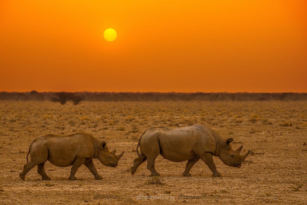 A Black Rhinoceros Mother and offspring at dusk in Etosha, Namibia.