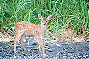 The Sitka deer, Odocoileus hemionus subspecies sitkensis, is a subspecies of Black-tailed Deer that inhabits northern British Columbia, Canada and southeastern Alaska, United States. It is characteristically smaller than other types of black-tailed deer, probably due in part to its typical island habitat. It is also a fairly good swimmer, and can occasionally be seen crossing deep channels between islands. It is named after Sitka, Alaska.<br /> <br /> Sitka Deer eat green leaves. Fawns are born in the early June and weigh 6 to 8 pounds. Their average life span is about 10 years but a few are known to have attained an age of 15.