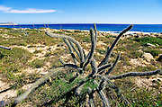 Image of cacti along the East Cape Corridor with the Sea of Cortez, Baja California Sur, near San Jose del Cabo