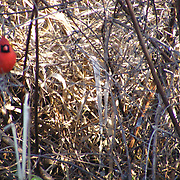 Cardinal in tall grass