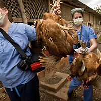 "Nursing students and faculty at Emory University School of Nursing in Atlanta, Georgia, volunteering at the Missionaries of the Poor in Kingston, Jamaica. Students go on a ""chicken run"" to collect live chickens for distribution to needy Jamaicans."