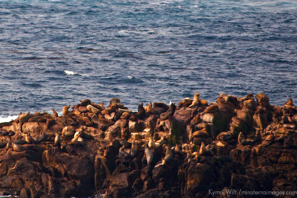 USA, California, Point Lobos. Sea Lion Colony on rocks offshore at Point Lobos State Reserve.