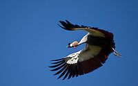 A crested crane flying in Solio, Kenya
