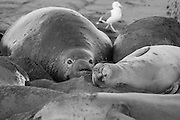 Bull elephant seal and females resting at Piedras Blancas, CA