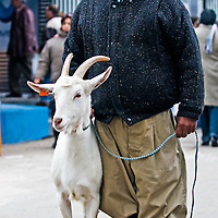 September 2008 Montevideo Uruguay - Uruguayan farmer with his goat