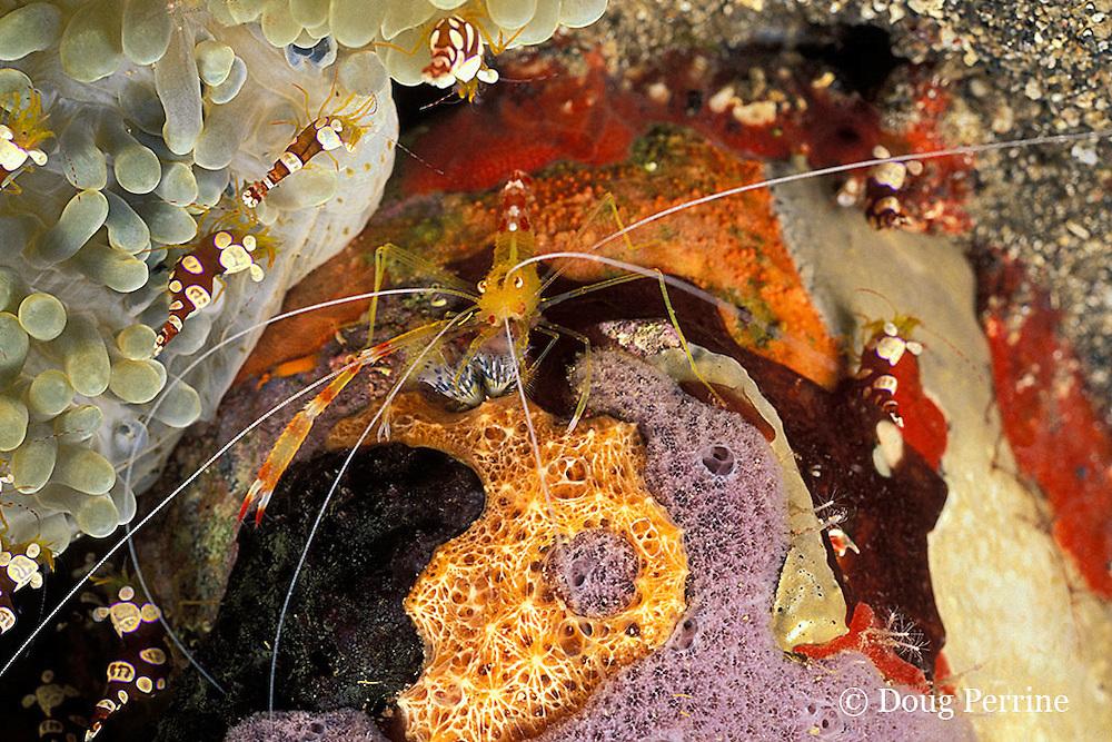 golden coral shrimp, Stenopus scutellatus, and squat anemone shrimp, Thor sp., St. Vincent or Saint Vincent, West Indies ( Eatern Caribbean Sea )
