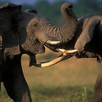 Africa, Kenya, Masai Mara Game Reserve, Two Bull elephants (Loxodonta africanus) sparring with tusks on savanna