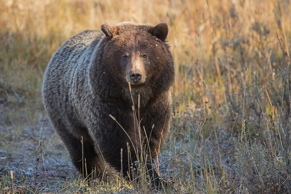 Nearing five years of age, this female grizzly is no longer under the protective care of her mother, who chased her off a little over a year ago. After spending more than three years in her mother's protective care, this young bear is now well equipped to survive on her own in her little corner of Yellowstone.