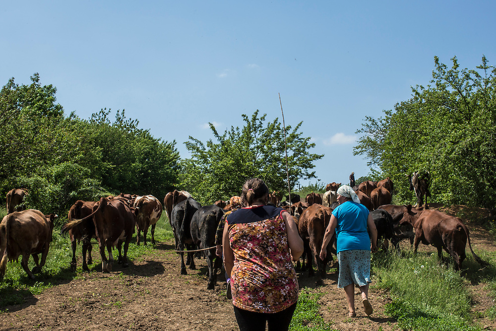 STAROVARVAROVKA, UKRAINE - MAY 15:  Villagers herd cows which scattered during overnight fighting on May 15, 2014 in Starovarvarovka, Ukraine. Violence is escalating as Eastern Ukraine seeks greater autonomy from the central government in Kiev. (Photo by Brendan Hoffman/Getty Images) *** Local Caption ***