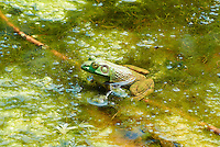 Bullfrog in a Pond at the Sourland Mountain Preserve. Summer Nature in New Jersey. Image taken with a Nikon 1 V1 + FT1 + 70-300 mm VR lens (ISO 200, 135 mm, f/5.6, 1/320 sec) and monopod. [FOV Equivalent to ~ 365 mm on a 35 mm image sensor]