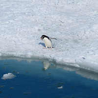 An Adelie Penguin contenplates going in the water in McMurdo Sound, Antarctica.