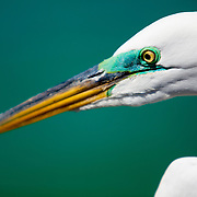 A great egret shows it breeding colors, it's usual yellow face turned to brilliant green.