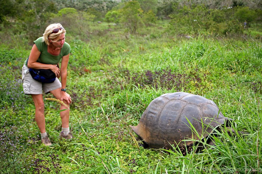 America, South America, Ecuador, Galapagos Islands, Santa Cruz Island. Encounter with the Galapagos Tortoise in the highlands of Santa Cruz Island.