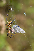 Garden Spider.Argiope species (?).with a female Eastern Pondhawk (Erythemis simplicicollis) it has caught in a web..Hornsby Bend,.Austin,.Travis Co., Texas.13 September 2007
