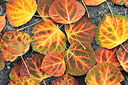 A brilliant display of autumn color provided by aspen leaves.