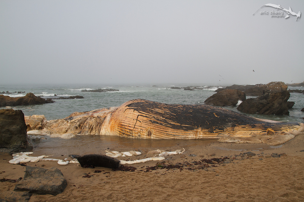 Dead blue whale (Balaenoptera musculus), which washed up on Bean Hollow State Beach near Pescadero Beach, Northern California. (GPS coordinates: 37.227072, -122.410529)