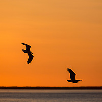 Bald eagles in flight at sunset