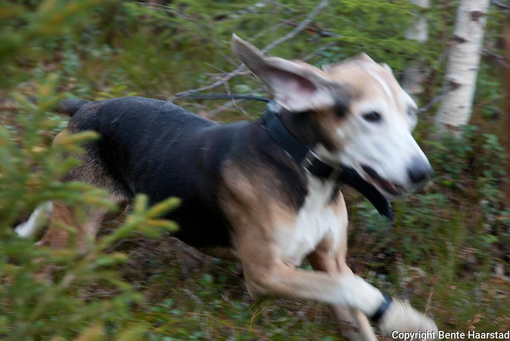 Hare hunting dog. Norske harehunder.