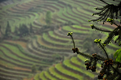 Details of a branch tree with terraces of plantations in the background, Bac Ha district, Lao Cai province, North Vietnam.