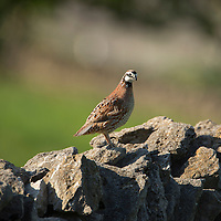 May 15, 2013 - Pleasant Hill, Kentucky, USA - A male bobwhite quail stands on a stone fence to get a better look over his territory at Shaker Village. (Credit Image: © David Stephenson/ZUMA Press)