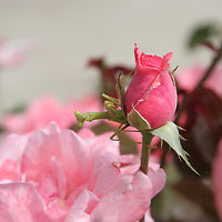Praying Mantis on Pink Rosebud<br />